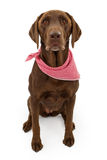 Chocolate Labrador Retriever Dog With Scarf. A chocolate Labrador retriever dog with a red and white checkered scarf isolated on white Stock Image