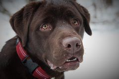 Chocolate Labrador Retriever dog Royalty Free Stock Image