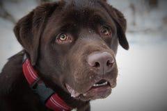 Chocolate Labrador Retriever dog Royalty Free Stock Image