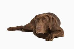 Chocolate Labrador Retriever Royalty Free Stock Photos