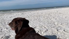 Chocolate Labrador Retriever laying on the beach and observing the sights and sounds of the Gulf of Mexico. As waves roll in stock video footage