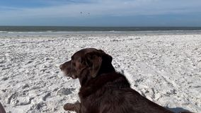Chocolate Labrador Retriever laying on the beach and observing the sights and sounds of the Gulf of Mexico. As waves roll in stock video