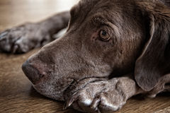 Chocolate labrador retriever laying down Stock Photography