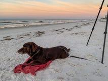 Chocolate labrador retriever laying on white sand beach next to photographer`s tripod along Gulf of Mexico during sunrise stock photos