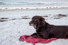 Chocolate labrador retriever laying on white sand beach while observing nature at sunrise, along Gulf of Mexico. royalty free stock photos