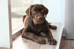 Chocolate labrador retriever near window. At home Stock Photo