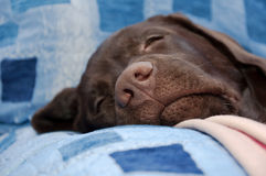 Chocolate labrador retriever nose close-up Royalty Free Stock Image