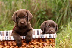 Chocolate labrador retriever puppies Royalty Free Stock Photo