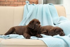 Chocolate Labrador Retriever puppies with blanket. On sofa indoors royalty free stock photo
