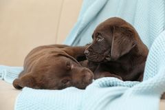 Chocolate Labrador Retriever puppies with blanket on sofa. Indoors stock image