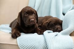 Chocolate Labrador Retriever puppies with blanket on sofa. Indoors royalty free stock images