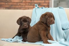 Chocolate Labrador Retriever puppies with blanket on sofa. Indoors royalty free stock photos