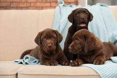 Chocolate Labrador Retriever puppies with blanket on sofa. Indoors royalty free stock photo