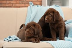 Chocolate Labrador Retriever puppies with blanket on sofa. Indoors stock photography