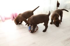 Chocolate Labrador Retriever puppies. With toy indoors stock photography