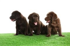 Chocolate Labrador Retriever puppies on grass against white background. Chocolate Labrador Retriever puppies on green grass against white background stock photos