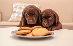 Chocolate Labrador Retriever puppies near cookies indoors. Chocolate Labrador Retriever puppies near plate with cookies indoors stock image