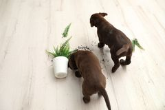 Chocolate Labrador Retriever puppies with overturned houseplant. At home stock photos