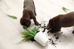 Chocolate Labrador Retriever puppies with overturned houseplant. At home royalty free stock photography