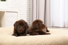 Chocolate Labrador Retriever puppies on pet pillow. At home stock photography