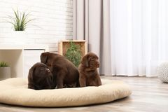 Chocolate Labrador Retriever puppies on pet pillow. At home royalty free stock images