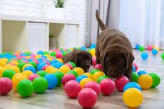 Chocolate Labrador Retriever puppies playing. With colorful balls indoors royalty free stock images