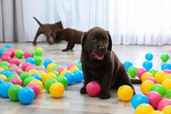 Chocolate Labrador Retriever puppies playing. With colorful balls indoors stock image