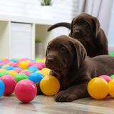 Chocolate Labrador Retriever puppies playing with colorful balls. Indoors stock image