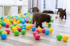 Chocolate Labrador Retriever puppies playing with colorful balls. Indoors stock photography