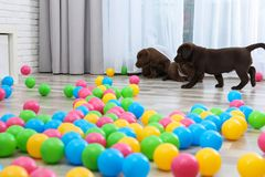 Chocolate Labrador Retriever puppies playing. With colorful balls indoors stock photography