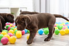 Chocolate Labrador Retriever puppies playing. With colorful balls indoors royalty free stock photo