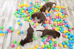 Chocolate Labrador Retriever puppies playing with colorful balls indoors. Top view stock photography