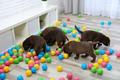 Chocolate Labrador Retriever puppies playing with colorful balls. Indoors stock images