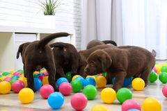 Chocolate Labrador Retriever puppies playing. With colorful balls indoors stock photos