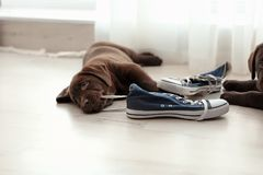 Chocolate Labrador Retriever puppies playing with sneakers. On floor indoors stock image