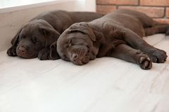 Chocolate Labrador Retriever puppies sleeping. On floor indoors stock photography