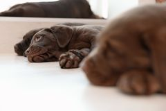 Chocolate Labrador Retriever puppies sleeping on floor. Indoors stock photos