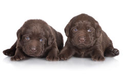 Chocolate labrador retriever puppies. 3 weeks old labrador retriever puppies on white royalty free stock images