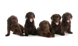 Chocolate Labrador Retriever puppies. On white background royalty free stock photography