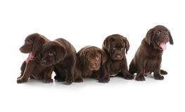 Chocolate Labrador Retriever puppies on white. Background stock photography
