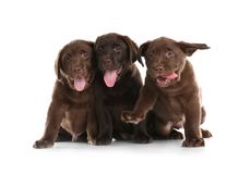 Chocolate Labrador Retriever puppies on white. Background royalty free stock image