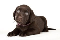 Chocolate labrador retriever puppy Stock Photography