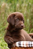 Chocolate labrador retriever puppy Stock Image