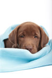 Chocolate labrador retriever puppy Stock Photos