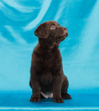 Chocolate labrador retriever puppy Stock Images
