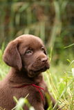 Chocolate labrador retriever puppy Royalty Free Stock Photography