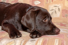 Chocolate labrador retriever puppy, age 5,0 months. Royalty Free Stock Photos