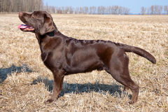 Chocolate labrador retriever puppy (age 7,0 months). Stock Images