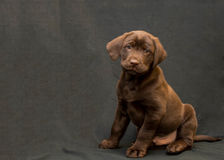 Chocolate Labrador Retriever Puppy in an Antique Tub. A Chocolate Lab stands on a black background with antique tub royalty free stock image