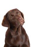 Chocolate labrador retriever puppy Royalty Free Stock Photography